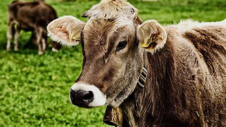 Cow-3611501_640_thumb_main