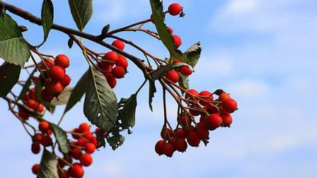 Sorbus-intermedia-3676607_640_thumb_main